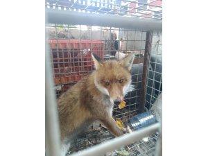 Hayvan severler yaralı bulunca Milli Park Şefliğine getirdi