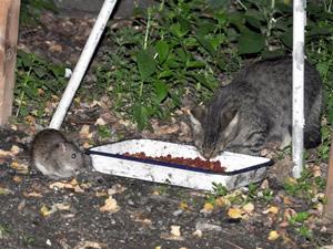 Fare ile yemeğini paylaşan kedi görenleri şaşırttı
