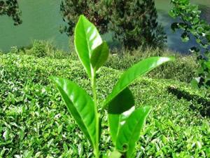 Yeşil çayın faydaları saymakla bitmiyor