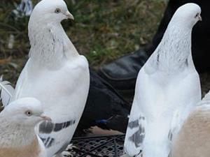 8. Şebap Güvercin Festivali
