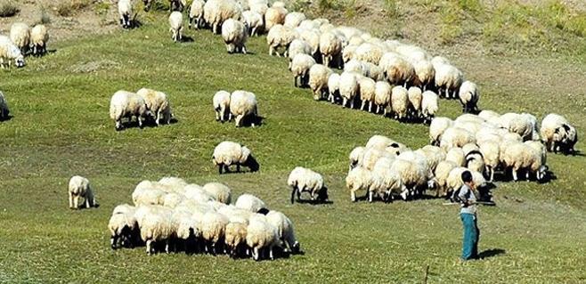 Aylık 2 bin 500 liraya çalışacak çoban bulamıyor!