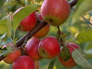 Elmadağ Elması markalaşıyor!
