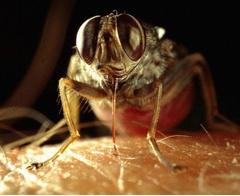Çeçe sineğinin gen haritası çıkartıldı