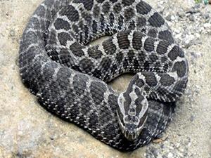 Köylüler 4 boyunuzlu yılan avına çıktı!