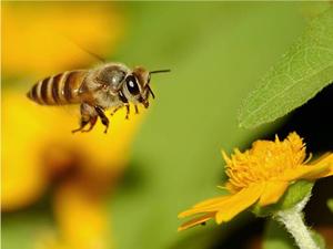 Sokmayan arı yetiştirilecek