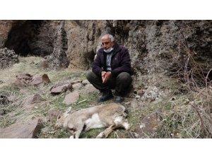 Tunceli'deki dağ keçisi ölümleri