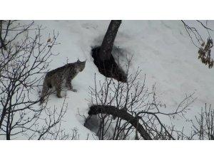Tunceli'de vaşak, kurt ve dağ keçileri belgeselleri aratmayan görüntüler oluşturdu