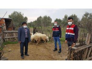 Ayvacık'ta çalınan 6 koyun jandarma ekiplerince bulundu