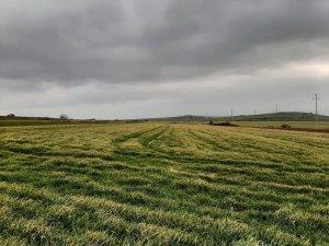 Don sonrası erken ekim yapılan alanlarda sararma meydana geldi