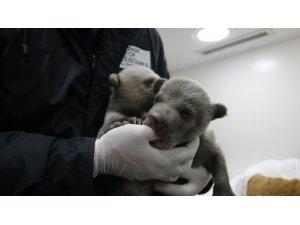 İstanbul'un sevimli 2 yavru ayısı doğdu