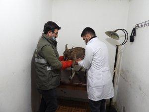 Artvin'de bitkin halde bulunan yaban keçisi koruma altına alındı