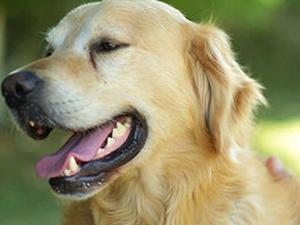 Köpekler kanseri koklayacak