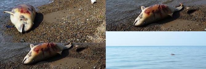 Zonguldak'ta 4 ölü yunus sahile vurdu