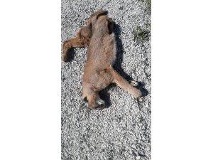 Nesli tükenme tehlikesinde olan Karakulak ölü bulundu