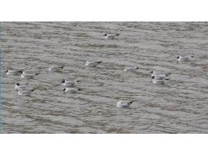 Kars Baraj Gölü kuşlarla doldu