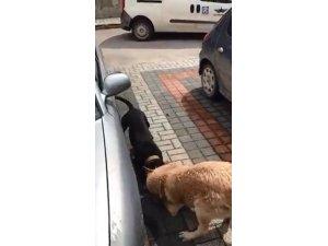 Pitbull sokak köpeğine böyle saldırdı