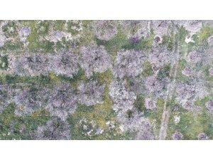 Erzincan'da kayısı ağaçları renk cümbüşü yaşatıyor