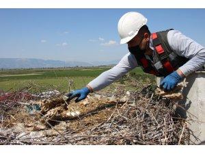 Özel olarak hazırlanan yuvalar her yıl 6 binden fazla leyleğe ev sahipliği yapıyor