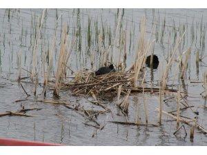 Beyşehir Gölü'nde sakar mekeler kuluçkaya yattı