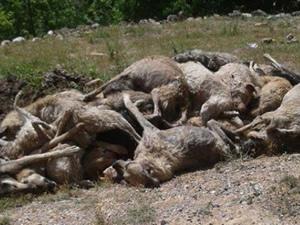 Tarsus'da köpek katliamı!