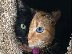Bu Kedi iki yüzlü