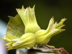 Giresun'da fındık hasadına erken başlandı
