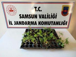 Çarşamba'da 55 kök kenevir ele geçirildi
