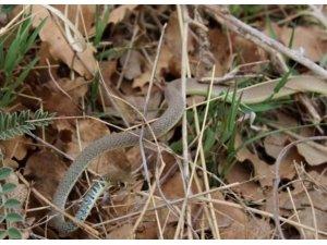 Konya'da ok yılanı fotoğraflandı