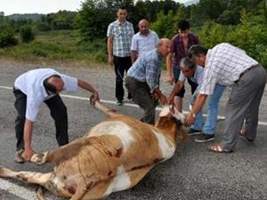 Kamyon çarpan inek yol ortasında kesildi