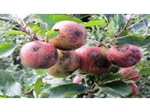 Elma ve armutta karaleke hastalığına dikkat