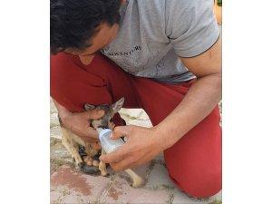 Bulduğu yavru karacayı biberonla besleyip, ekiplere teslim etti