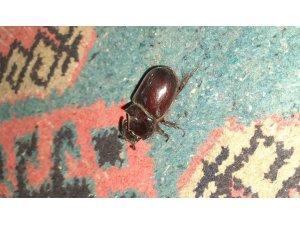 Adıyaman'da gergedan böceği görüldü