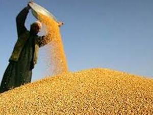 50 bin ton buğdayı yediler !