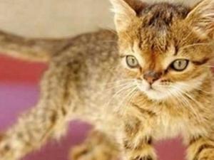 Türkiye'nin Down sendromlu ilk kedisi