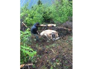 Uçuruma düşen ineği kurtarmak için seferber oldular
