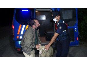 Firar eden kurbanlık koçu 13 saat sonra jandarma ekipleri buldu