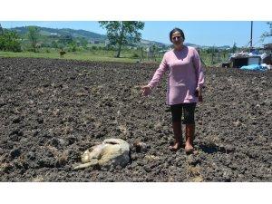 Köpekler evin bahçesindeki tavşan, tavuk ve koyunları telef etti