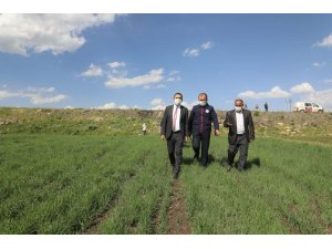 Vali Öksüz, kavılca buğdayı ekilen tarla incelemede bulundu