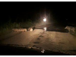 Şehre inen domuzlar ezilmekten son anda kurtuldu