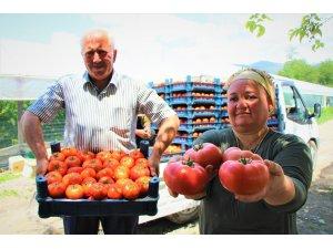 Karadeniz'in sebze üssü Amasya'da domates hasadı başladı