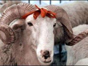 Küpesi olmayan hayvanlar kurban olarak satışa çıkarılamayacak!