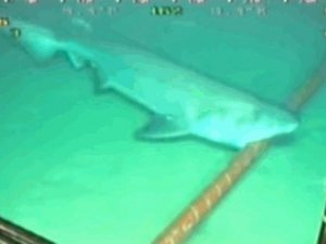 Köpek balıkları Google'ın kablolarını kemirmeye başladı