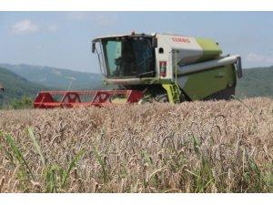 İzmit Belediyesi Nusrat buğday tohumlarını dağıtmaya başlıyor
