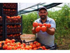 Amasya'da domates, üreticisini sevindirdi