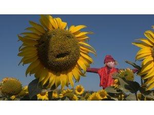 3. Ayçiçeği ve Korkuluk Festivali'nde ayçiçek tarlaları fotoğraf stüdyosuna döndü