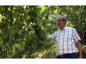 Fındık üreticisi hasat öncesi fiyat açıklanmasını bekliyor