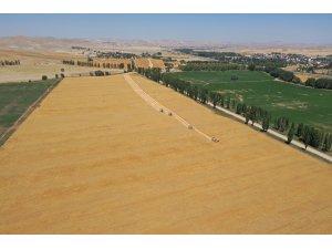 Sivas'a özgü Zeron buğdayının hasadı başladı
