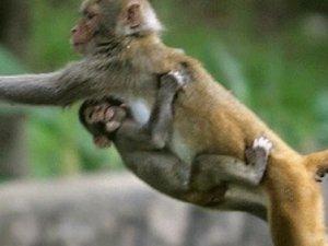 Hırsız maymun çaldıklarını dağıttı