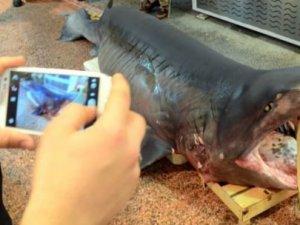 Çanakkale'de ağlara 3 metrelik köpek balığı takıldı!