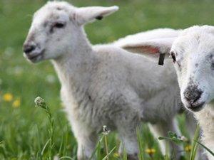 İki ağzı olan koyun görenleri şaşırttı